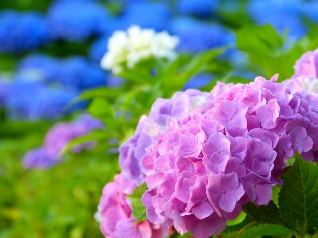 第三十五首 清史の短歌「紫陽花の〜」短歌で紡ぐ架空の恋